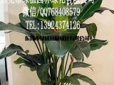 供应花卉租摆美人蕉 垂直绿化 室内外绿化养护 东莞租花
