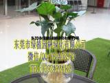 供应花卉租摆滴水观音 垂直绿化 室内外绿化养护 东莞租花
