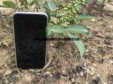 藤椒和九叶青的区别 藤椒产量 藤椒苗基地