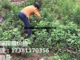 花椒苗种植技术,藤椒苗基地,花椒常见病虫害防治