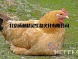 北京老母鸡销售