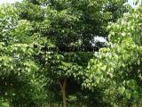 重阳木基地价格,南京重阳木树价格