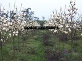 白玉兰树价格 白玉兰苗木价格