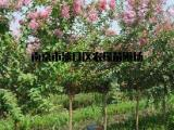 重庆紫薇树价格