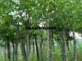 河南杜仲树价格