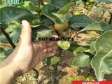 3公分梨树苗,3公分梨树苗价格-林泽园艺场