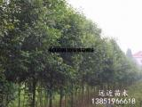 批发2-5米冠4-8米高的丛生大叶女贞树
