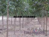 批发8-30公分规格榔榆树苗木产品