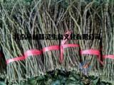 北京铁皮石斛鲜条销售