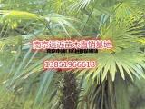 市场棕榈树批发价格供应详情