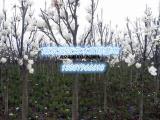 产地白玉兰树白玉兰苗木价格浮动