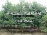南京苗圃七叶树价格详情