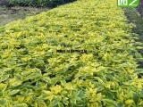 金边假连翘假植供应商,20厘米金边假连翘盆景
