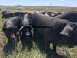 原生态养殖纯粮食喂养坝农黑猪及黑猪肉