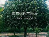 江苏桂花种植基地桂花树苗价格
