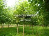 苗木产区法桐种植基地报价信息