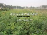 基地黄连木价格优势出售黄连木信息