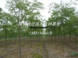 批量出售苗圃定植15公分榉树价格
