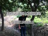 朴树植物产地江苏朴树价格