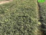 金边麦冬地被绿化苗,金边麦冬供应商
