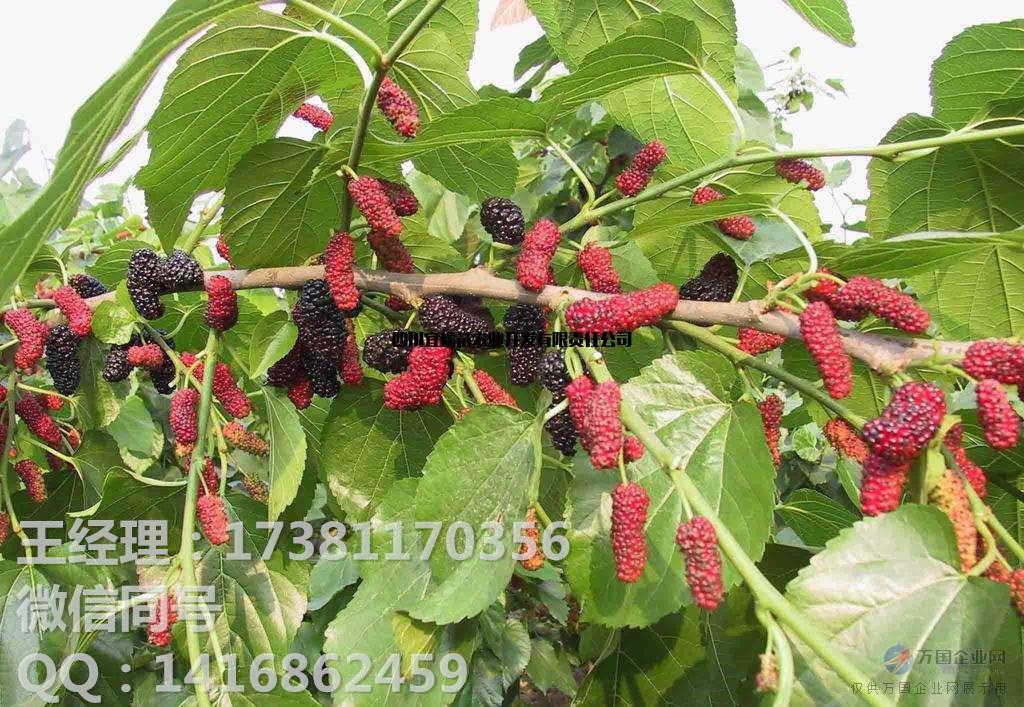 果桑品种 果桑种植要求 果桑和农桑的区别