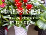 供应花卉租摆红运当头 垂直绿化 室内外绿化养护 东莞租花