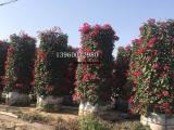 红花三角梅柱价格可商议,城市绿化苗圃老板三角梅质量可靠