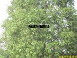 供应水杉等多种绿化苗木