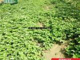 圣诞红草莓苗批发价格 圣诞红草莓苗基地报价
