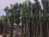 口碑好15公分骨架香樟价格包上车,别墅绿化香樟树产地新鲜现挖