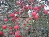 苹果苗培育基地 占地苹果苗批发 2年苹果苗 1米高苹果苗