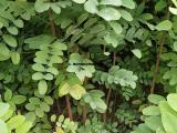 刺槐苗培育基地 1-2年刺槐苗 1米高刺槐苗价格