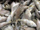 橡皮鱼马面鱼北部湾产地批发价