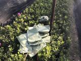 杯苗毛杜鹃产地特卖,毛杜鹃花卉种苗供应