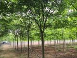 12公分榉树价格报价行情简介