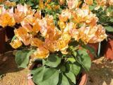 黄花三角梅盆栽价格,优质柠檬黄三角梅基地自产自销