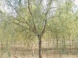 12公分垂柳树价格行情多少钱
