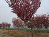 8公分樱花树价格报价多少钱
