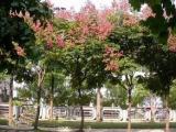 【栾树价格】苗圃供应3-20公分栾树 数量大价格低