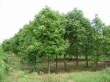 基地重阳木价格、优质重阳木基地价格