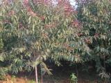 8公分占地桃树 高度3米冠幅4米 批发价格10元
