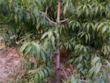 占地果树苗价格 1-15公分桃树 杏树 梨树 杏树 山楂树