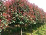 红叶石楠价格市场变动
