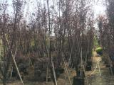 屋前绿化紫叶李评价高,红叶李树苗基地专业培育