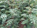 大红袍花椒苗价格 花椒苗1亩地种植多少棵?