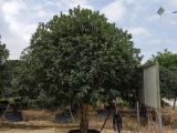 观赏苗桂花树供应商,桂花园林树种,木犀产地进货源头