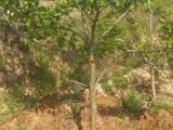 5公分山楂树价格+8公分山楂树价格+10公分山楂树出售价格