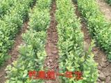 钙果苗基地 云南地区钙果苗供应商
