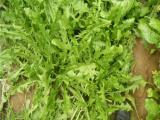 新采大叶蒲公英种子 保健野菜特菜 食用多年生婆婆丁种子