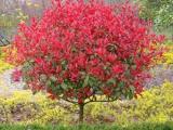 蔚县红叶石楠的种植多少钱